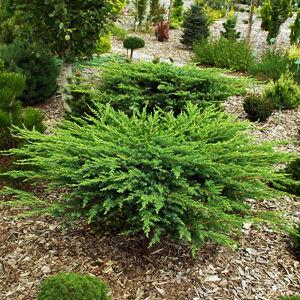 Juniperus conferta 'Schlager' – Terülő fövenyboróka