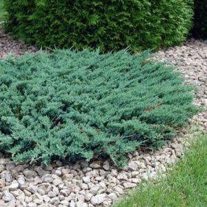 Juniperus horizontalis 'Blue Chip' - Kék terülő henyeboróka