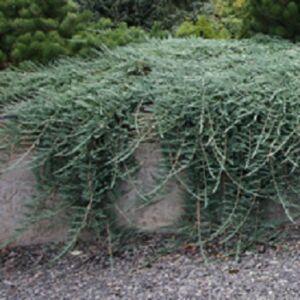 Juniperus horizontalis 'Glauca' - Kék henyeboróka