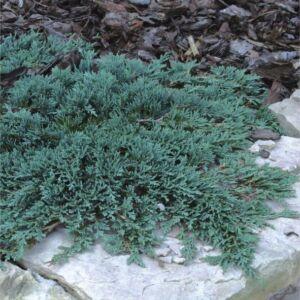 Juniperus horizontalis 'Ice Blue' - Kék henyeboróka