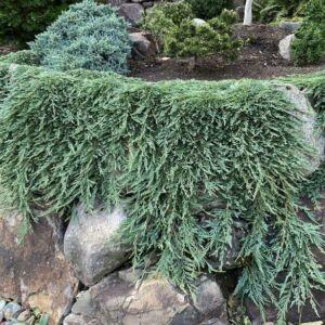 Juniperus horizontalis 'Pancake' – Terülő henyeboróka