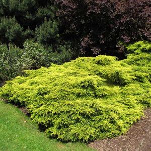 Juniperus media 'Gold Coast' – Arany, terülő boróka