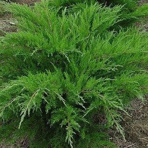 Juniperus media 'Mint Julep' - Zöld terülő boróka