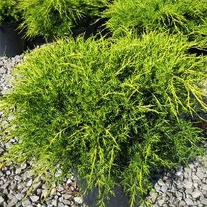 Juniperus media 'Old Gold' - Óarany terülő boróka