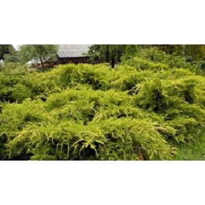 Juniperus media 'Pfitzeriana Aurea' - Arany terülő boróka