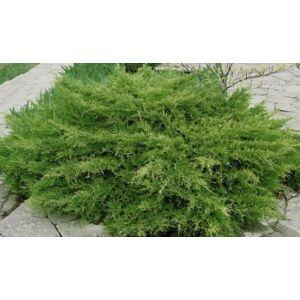 Juniperus media 'Pfitzeriana Compacta' - Terülő boróka