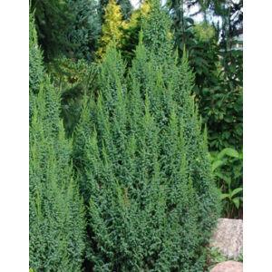 Juniperus pingii 'Loderi' – Törpe himalájai boróka