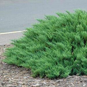 Juniperus sabina 'Mas' – Nehézszagú boróka