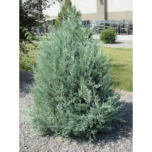 Juniperus scopulorum 'Moonglow' - Kék oszlopos oregoni boróka