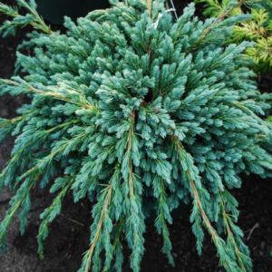 Juniperus squamata 'Blue Spider' – Kék törpeboróka