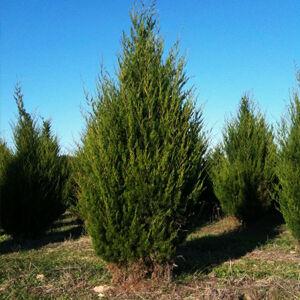 Juniperus virginiana – Virginiai boróka