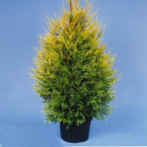 Cupressocyparis leylandii 'Excalibur Gold' – Arany lombú leyland ciprus