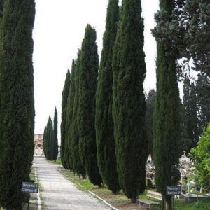 Cupressus sempervirens 'Pyramidalis' – Toszkán ciprus