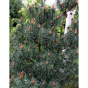 Pinus sylvestris 'Chantry Blue' – Erdeifenyő