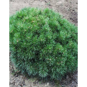 Pinus sylvestris 'Cuha' – Törpe erdeifenyő