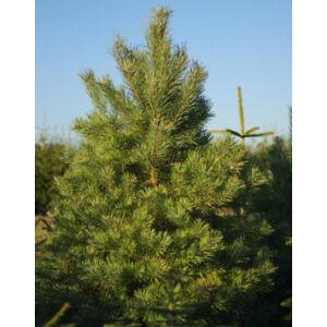 Pinus sylvestris - Erdei fenyő