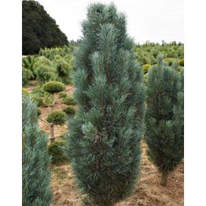 Pinus sylvestris 'Fastigiata' – Oszlopos erdeifenyő