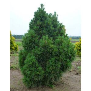 Pinus sylvestris 'Globosa Viridis' – Törpe erdeifenyő