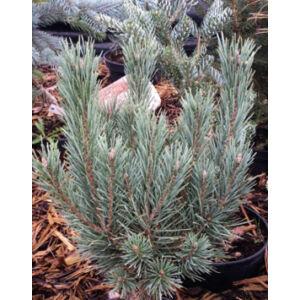 Pinus sylvestris 'Nana Argentea' – Erdeifenyő