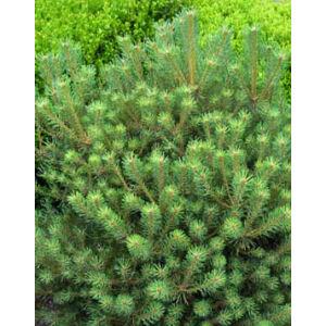 Pinus sylvestris 'Saxatilis' – Törpe erdeifenyő