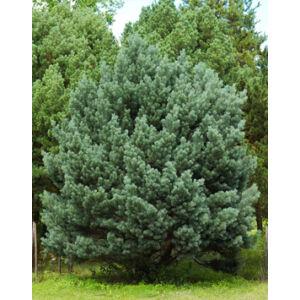 Pinus sylvestris 'Watereri' – Erdeifenyő