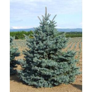 Picea pungens 'Balaton' – Ezüstfenyő