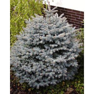 Picea pungens 'Conica' – Törpe ezüstfenyő