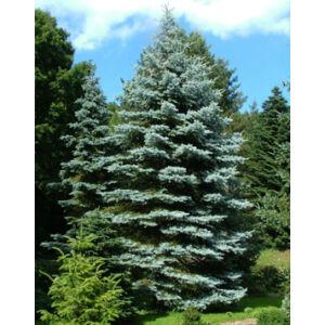 Picea pungens 'Edith' – Ezüstfenyő (konténeres)
