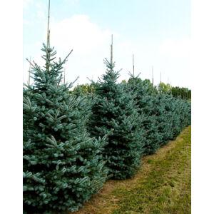 Picea pungens 'Erich Frahm' – Ezüstfenyő