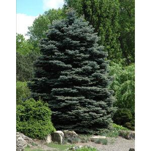 Picea pungens 'Fat Albert' – Ezüstfenyő