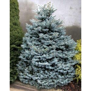 Picea pungens 'Glauca Globosa' – Törpe, gömb ezüstfenyő