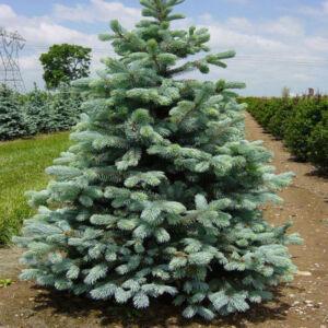 Picea pungens 'Glauca Kaibab' – Ezüstfenyő