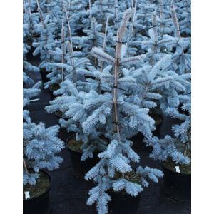 Picea pungens 'Hoopsii' – Ezüstkék fenyő