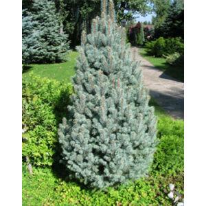 Picea pungens 'Iseli Fastigiata' – Oszlopos ezüstfenyő