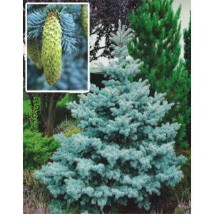 Picea pungens 'Koster' – Ezüstkék fenyő