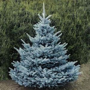Picea pungens 'Super Blue Seedling' – Ezüstfenyő