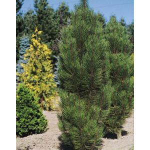 Pinus nigra 'Arnold Sentinel' – Karcsú, oszlopos feketefenyő