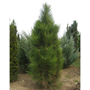 Pinus nigra 'Fastigiata' – Oszlopos feketefenyő