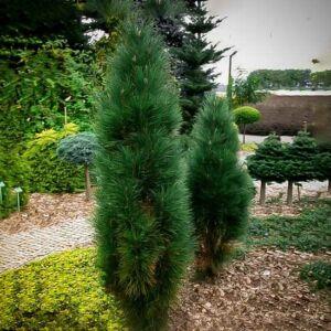 Pinus nigra 'Green Tower' – Feketefenyő
