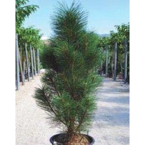 Pinus nigra 'Molette' – Feketefenyő