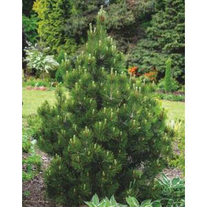Pinus nigra 'Nana' – Törpe feketefenyő