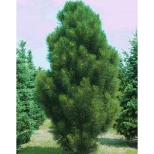 Pinus nigra 'Pyramidalis' – Oszlopos feketefenyő