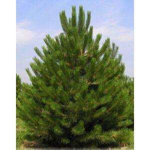 Pinus nigra var. 'Austriaca' – Osztrák feketefenyő