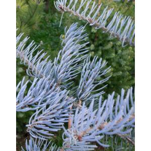 Abies concolor 'Glauca Horstmann' – Kék kolorádói jegenyefenyő