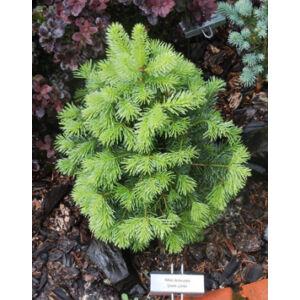 Abies lasiocarpa 'Green Globe' – Zöld, gömb sziklás hegységi jegenyefenyő