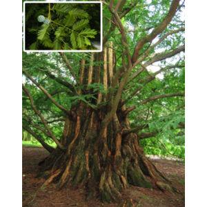 Metasequoia glyptostroboides – Kínai mamutfenyő