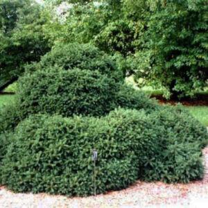 Picea glauca 'Echinformis' – Törpe gömb cukorsüvegfenyő