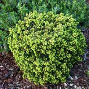 Picea abies 'Little Gem' – Fészekfenyő