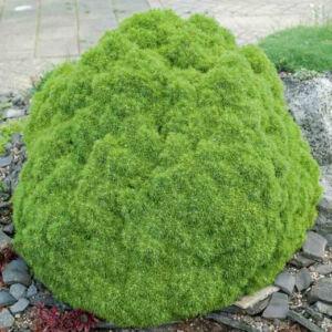 Picea glauca 'Alberta Globe' – Törpe cukorsüvegfenyő
