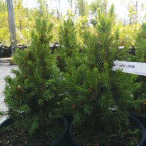 Picea glauca 'Conica' – Cukorsüvegfenyő